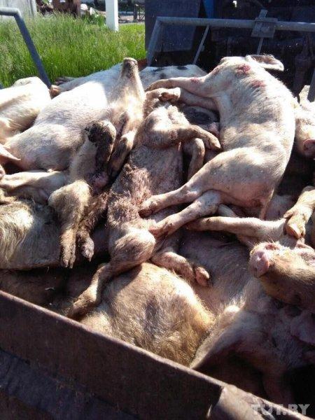 Шокирующие кадры. «Животные ложатся и умирают». В некогда образцовом хозяйстве под Рогачевом дохнут свиньи — от голода