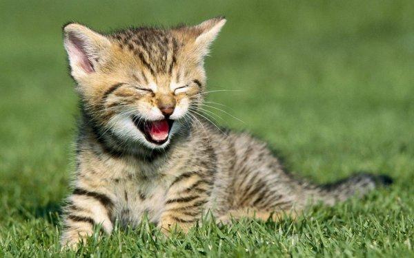 Учёные выяснили, почему и как улыбаются кошки