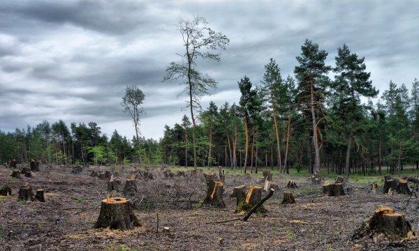 Жители Рогачёва сообщают о массовом уничтожении леса в районе