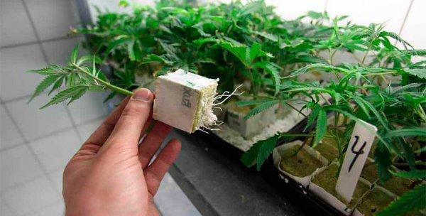 Житель Жлобина нашел куст марихуаны и выращивал ее в стиральной машине