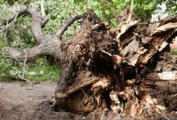В Дзержинском районе в результате упавшего дерева погиб человек