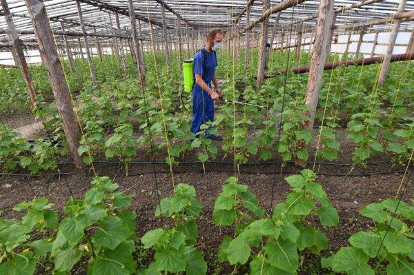 В Ольшанах фермеры давят фурами огурцы из-за низкой закупочной цены