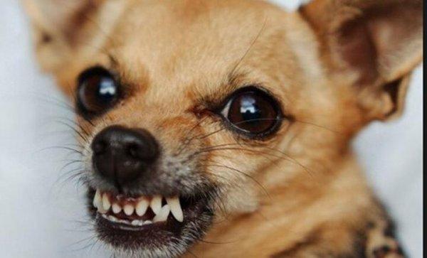 В Могилеве у домашней собаки породы чихуахуа нашли бешенство
